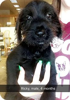 Terrier (Unknown Type, Medium) Mix Puppy for adoption in Chico, California - Ricky