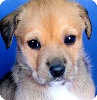 "Labrador Retriever/Australian Shepherd Mix Puppy for adoption in Wakefield, Rhode Island - ROSEMARY(OUR ""SPICE"" PUPPY!!"