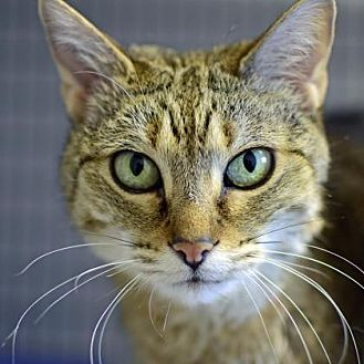 Domestic Shorthair Cat for adoption in Denver, Colorado - Shadow