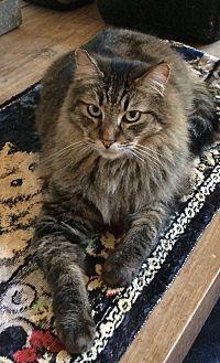Domestic Longhair Cat for adoption in Woodstock, Virginia - Mario