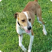 Adopt A Pet :: Shelton - Richmond, VA