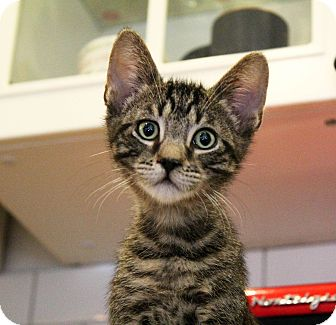 Bengal Kitten for adoption in Los Angeles, California - Ozzie
