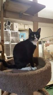 Domestic Shorthair/Domestic Shorthair Mix Cat for adoption in Hinesville, Georgia - Barbie