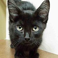 Adopt A Pet :: Blackie - Oswego, IL