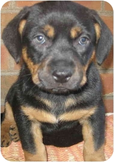 Beagle/Rottweiler Mix Puppy for adoption in Chicago, Illinois - Joey(ADOPTED!)