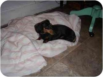 Dachshund Dog for adoption in Brooklyn, New York - Remy Dachshund