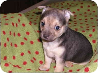 Chihuahua Mix Puppy for adoption in San Diego, California - Coco