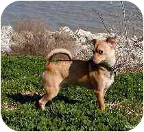 Chihuahua/Dachshund Mix Dog for adoption in Houston, Texas - Carlos