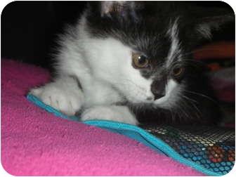 Domestic Mediumhair Kitten for adoption in Naperville, Illinois - Cupcake-PENDING ADOPTION