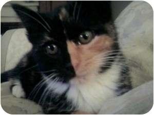 Domestic Mediumhair Kitten for adoption in Raritan, New Jersey - Spotty