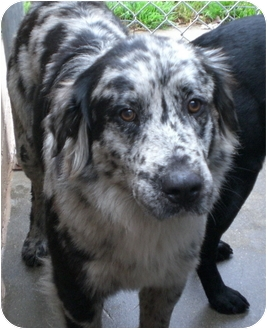 Australian Shepherd Mix Dog for adoption in Gaffney, South Carolina - Merlin