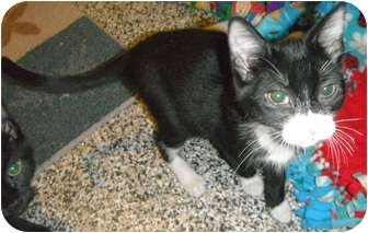 Domestic Shorthair Kitten for adoption in Jackson, Michigan - Eclipse