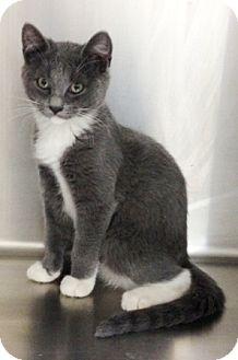 Domestic Shorthair Kitten for adoption in Dublin, California - Pansy
