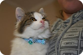 Domestic Longhair Cat for adoption in Spring Valley, New York - Peaches