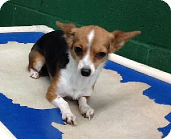 Chihuahua Mix Dog for adoption in Avon, New York - Princess