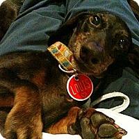 Adopt A Pet :: Lewis - Killingworth, CT