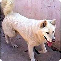 Adopt A Pet :: POLAR BEAR - dewey, AZ