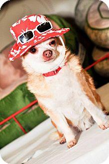 Chihuahua Dog for adoption in Bridgeton, Missouri - Killer