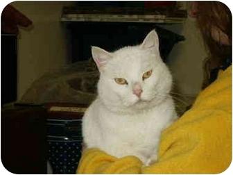 Domestic Shorthair Cat for adoption in Mason City, Iowa - Madison