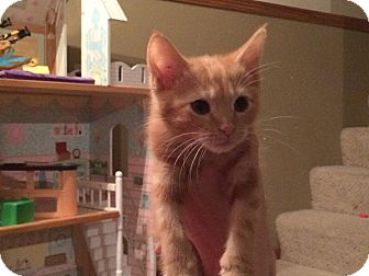 Domestic Shorthair Kitten for adoption in Des Moines, Iowa - Gilbert