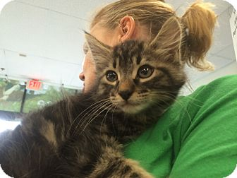 Maine Coon Kitten for adoption in Los Angeles, California - Andrew