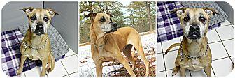 Rhodesian Ridgeback/Shepherd (Unknown Type) Mix Dog for adoption in Forked River, New Jersey - Reba