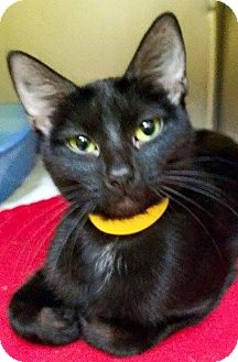 Domestic Shorthair Cat for adoption in Adrian, Michigan - Adelle