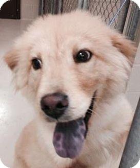 Golden Retriever Mix Dog for adoption in Atlanta, Georgia - Sunny