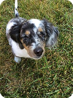 Dachshund Mix Puppy for adoption in Madison, Wisconsin - Magpie