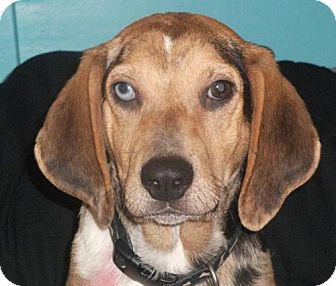 Beagle Puppy for adoption in Newburgh, Indiana - Goober- sweet !