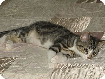 Domestic Shorthair Kitten for adoption in Bentonville, Arkansas - Garbanzo
