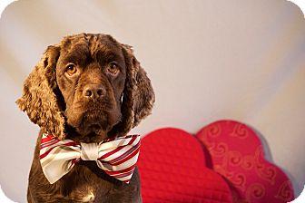 Cocker Spaniel Mix Dog for adoption in Yadkinville, North Carolina - Parker