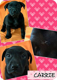 Labrador Retriever Mix Puppy for adoption in Spring Valley, New York - Carrie