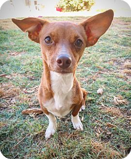 Miniature Pinscher Mix Dog for adoption in Fredericksburg, Texas - Coco