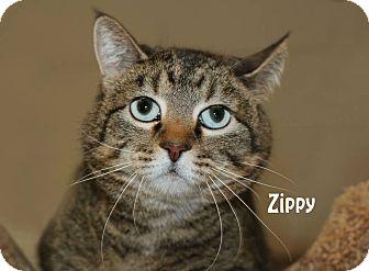 Domestic Shorthair Cat for adoption in Idaho Falls, Idaho - Zippy