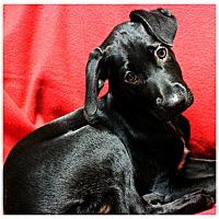 Adopt A Pet :: Samantha - Forked River, NJ