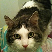 Domestic Longhair Cat for adoption in Richmond Hill, Ontario - Maxwell
