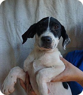 German Shorthaired Pointer/Labrador Retriever Mix Puppy for adoption in Oviedo, Florida - Keiko