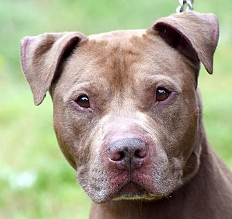 American Pit Bull Terrier Mix Dog for adoption in New Haven, Connecticut - RED
