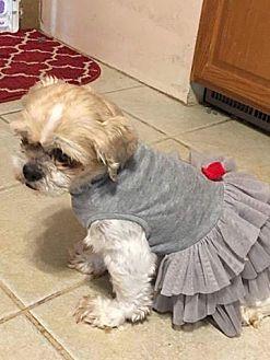 Shih Tzu Mix Dog for adoption in DAYTON, Ohio - Sophia