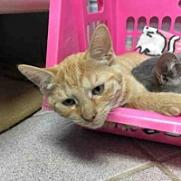 Adopt A Pet :: O''CRUSH - Canfield, OH