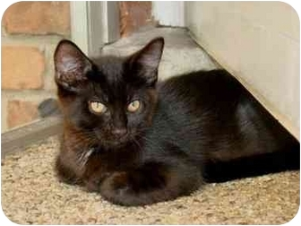 Domestic Shorthair Cat for adoption in Taylor Mill, Kentucky - Thomas