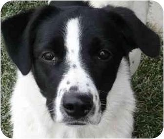 Border Collie Mix Dog for adoption in Denver, Colorado - Melli