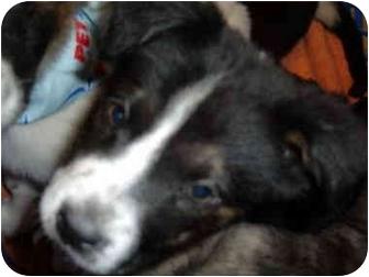 Border Collie/Labrador Retriever Mix Puppy for adoption in No.Charleston, South Carolina - Charity