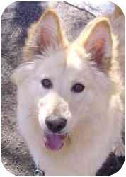 Golden Retriever/Collie Mix Dog for adoption in Kansas City, Missouri - Courtesy List-Custard