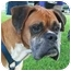 Photo 3 - Boxer Dog for adoption in Gainesville, Florida - Colonel