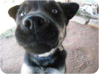 Alaskan Malamute/Shar Pei Mix Dog for adoption in Carnegie, Oklahoma - Buck