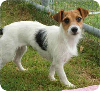 Jack Russell Terrier Dog for adoption in Phoenix, Arizona - FANNIE FOXE