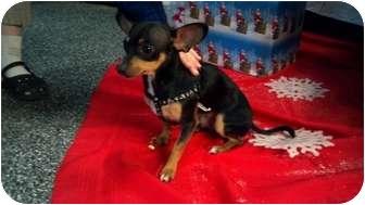 Miniature Pinscher/Chihuahua Mix Dog for adoption in Phoenix, Arizona - Ozzy