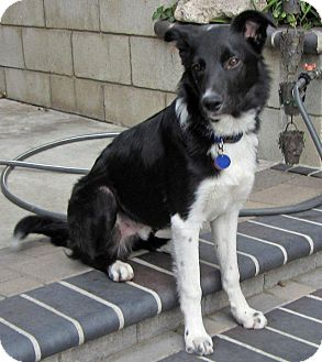 Border Collie Mix Puppy for adoption in Phelan, California - ANDY
